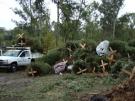 Arranca programa de recolección de árboles de Navidad