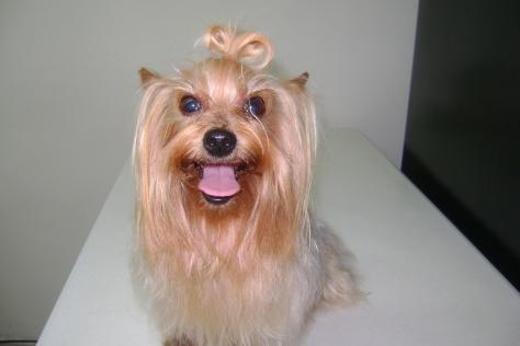 Yorkshire Terrier, semental disponible para cruza